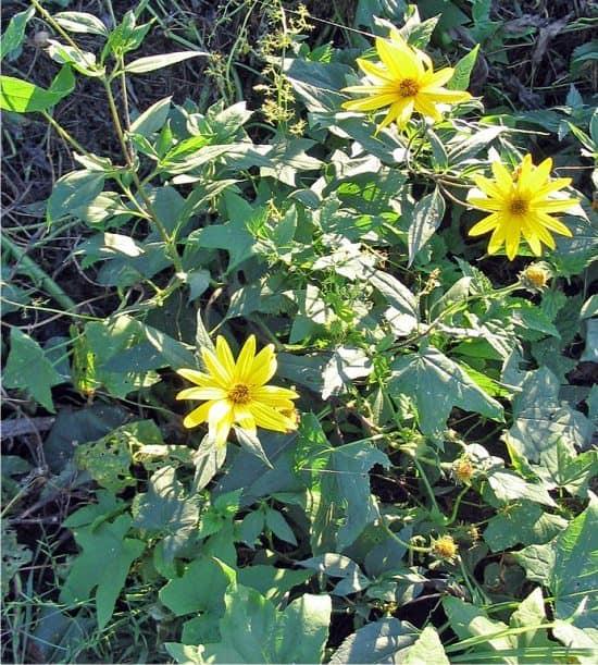 La fioritura del topinambur