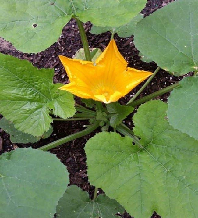 la pianta delle zucchine in fiore
