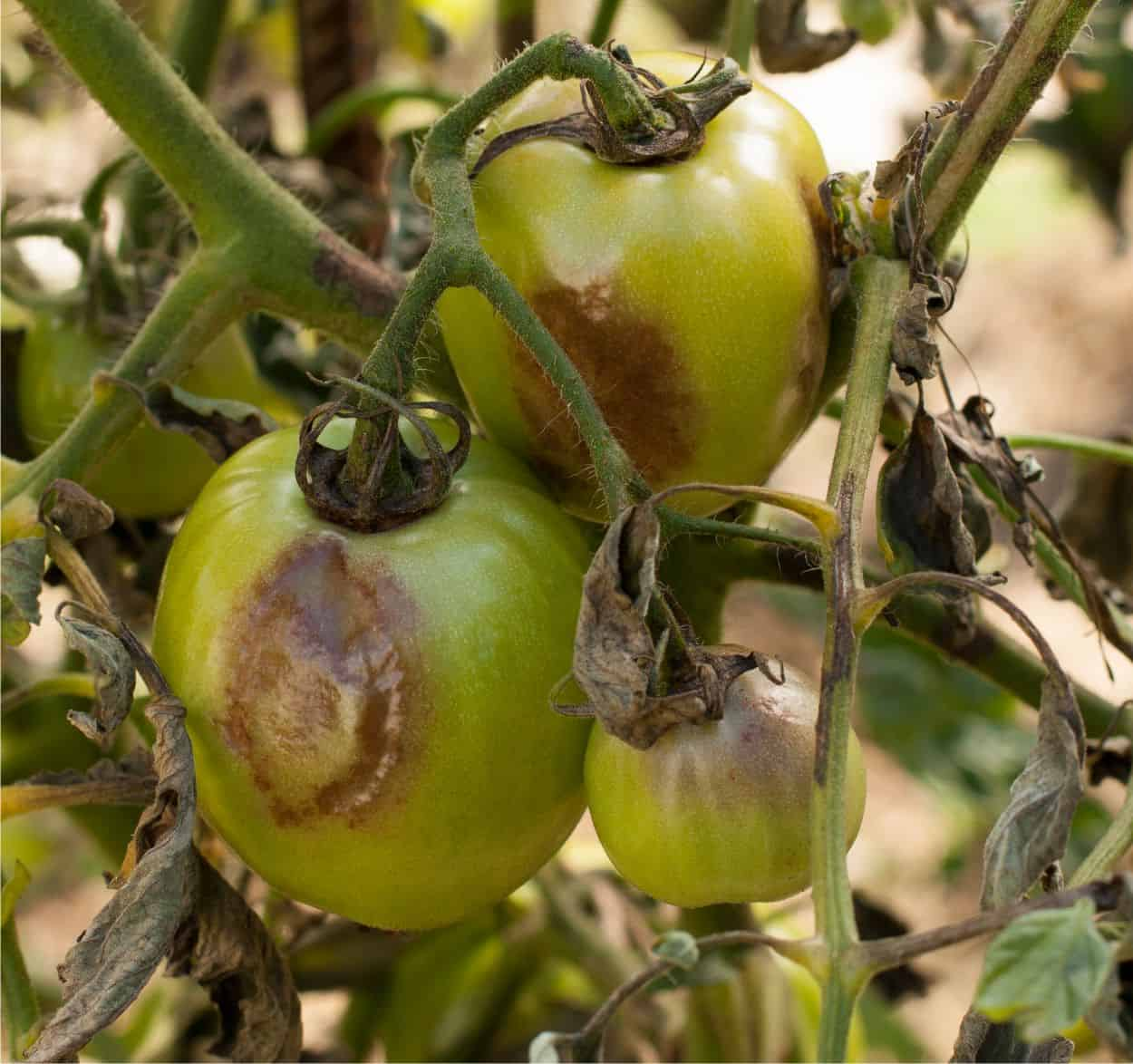 pomodori con peronospora