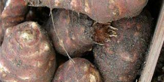 Coltivazione del topinambur