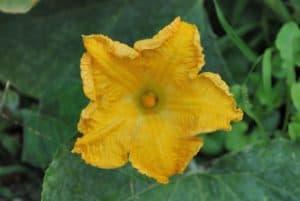 PumpkinFlower