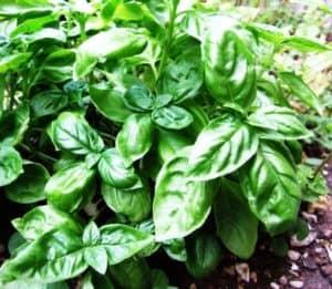 piante di basilico