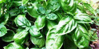Basilico: coltivazione e proprietà