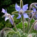 fiori blu di borragine