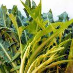 Coltivazione della catalogna o cicoria asparago