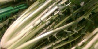 La coltivazione della catalogna e delle puntarelle