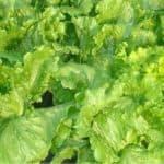 verdi foglie di lattuga