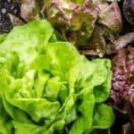 Coltivare la lattuga nell'orto