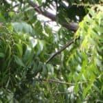 Olio di neem: insetticida atossico