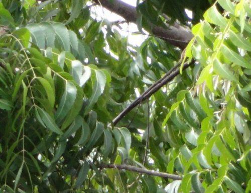 Olio di neem, insetticida atossico