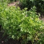 piante di prezzemolo
