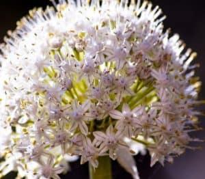 fiore di cipolla con i semini
