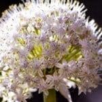 Perchè la cipolla monta a seme e fa il fiore