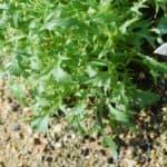 brassica mizuna orientale