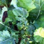 Coltivare cime di rapa e friarielli