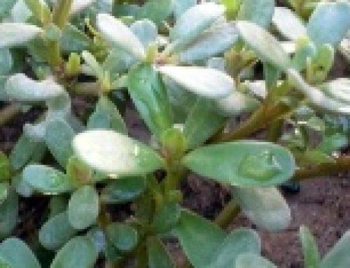 Portulaca: erba spontanea ricca di omega3
