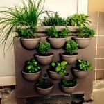 Aromatiche coltivate in vaso e consociazioni