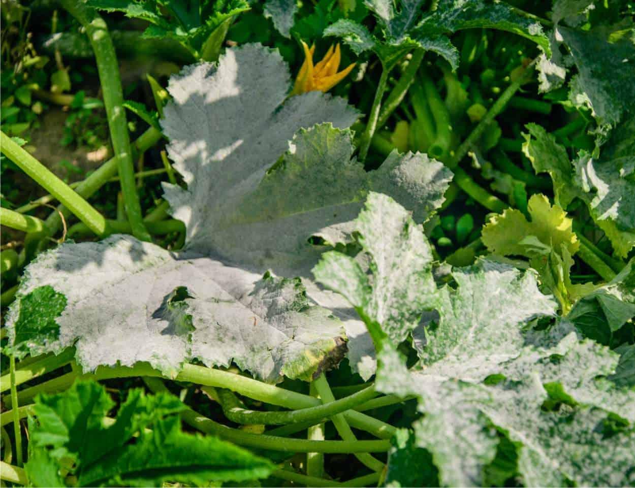 Oidio o mal bianco delle zucchine