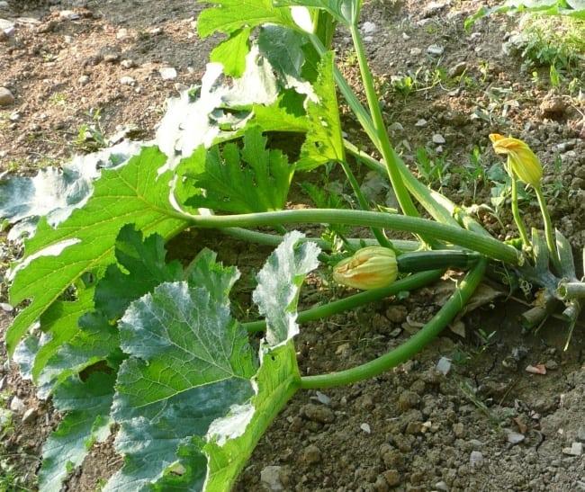 pianta malata di oidio