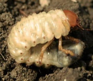 larva di maggiolino