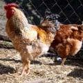 pollina dal letame delle galline