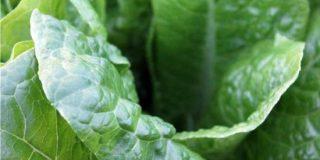Guida alla coltivazione degli spinaci
