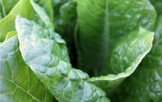 spinaci foglie