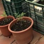 Consigli per coltivare in vaso ortaggi