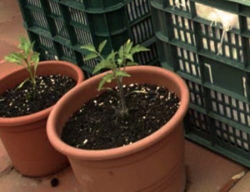 Consigli per coltivare verdure in vaso