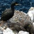 guano di cormorano
