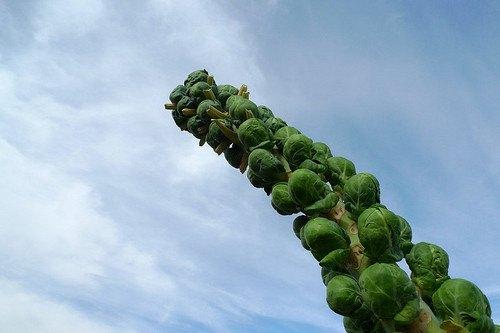 pianta dei cavolini