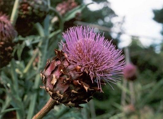 fiore del cardo