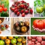 Le migliori varietà di pomodoro da coltivare