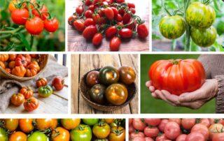 varieta pomodoro