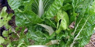 Coltivare la bieta da coste nell'orto