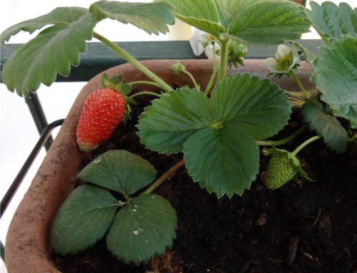La coltivazione delle fragole nell'orto