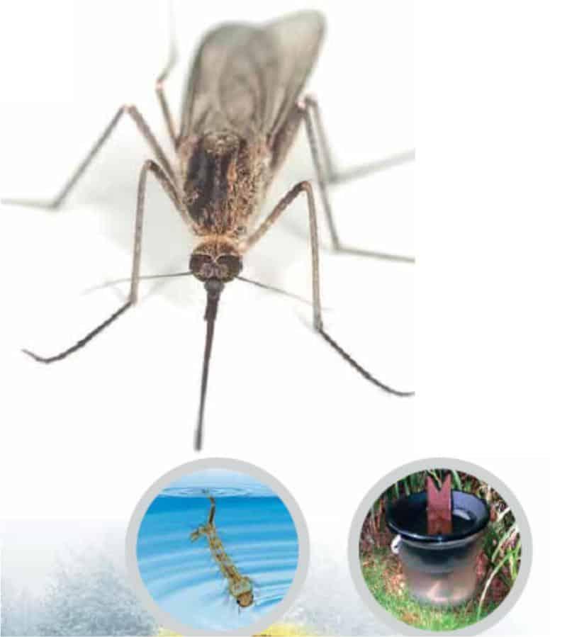 larve di zanzara