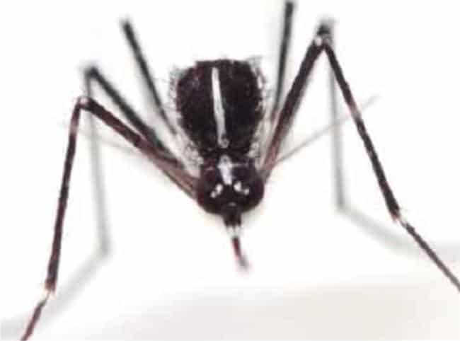 zanzara che punge