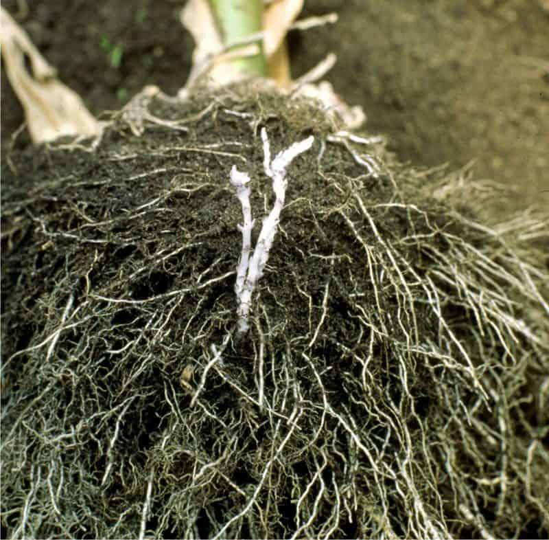 pianta micorrizata