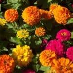 Zinnia: fiore ornamentale che piace alle farfalle