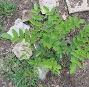 la pianta della liquirizia