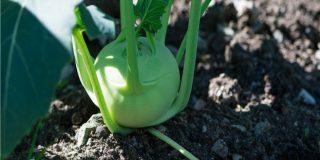 Il cavolo rapa nell'orto: guida alla coltivazione