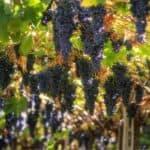 Viticoltura sostenibile e vino biologico