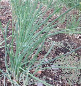 filare di erba cipollina