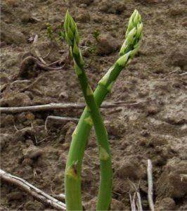 asparago coltivato in orto