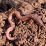 Lombricoltura: allevamento di lombrichi