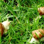 Come allevare le chiocciole all'aperto