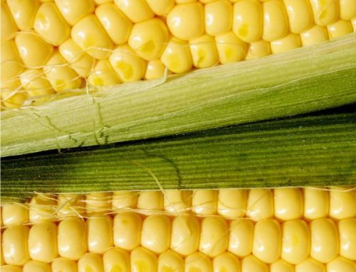 Come si coltiva il mais o granoturco
