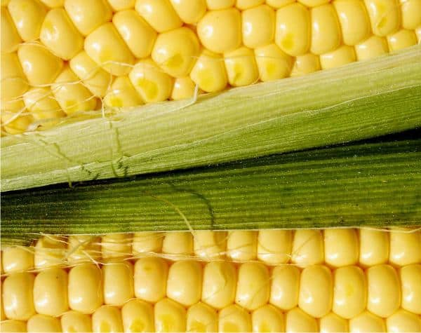 foto di Come si coltiva il mais o granoturco