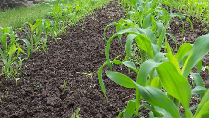 mais coltivato nel terreno